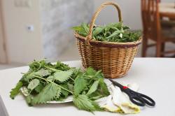 Сбор и заготовка крапивы
