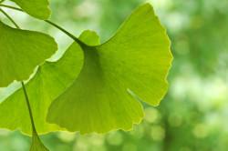 Листья гинкго для восстановления тока крови
