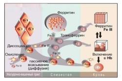 Обмен железа в организме человека