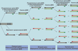 Циклы реакции ПЦР-амплификации ДНК