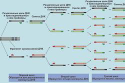 Три цикла реакции ПЦР