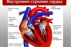 Особенности строения сердца