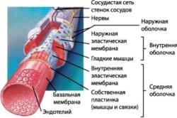 Строение стенки кровеносных сосудов