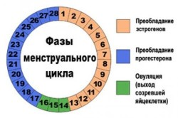 Фазы менструального цикла