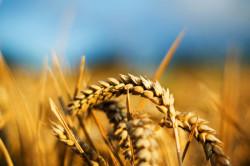 Пшеница - продукт, способствующий набору веса