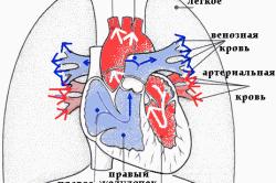 Особенности кровообращения в сердце