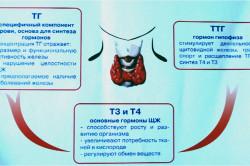 Значение щитовидной железы в организме человека