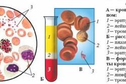 Состав крови под микроскопом