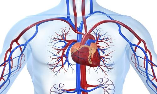 Система кровообращения организма